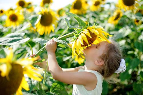 Little girl smelling big sunflower